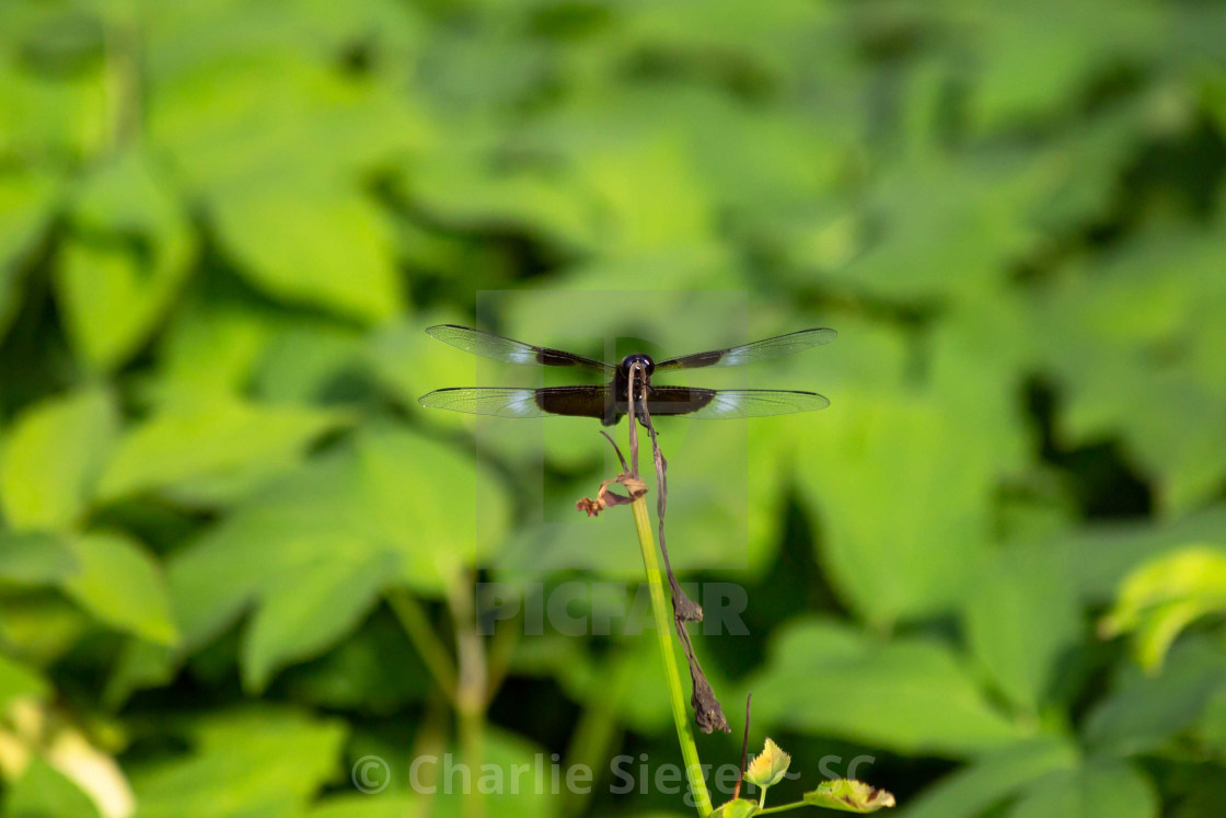 """Blue Dragonfly Facing the Camera"" stock image"