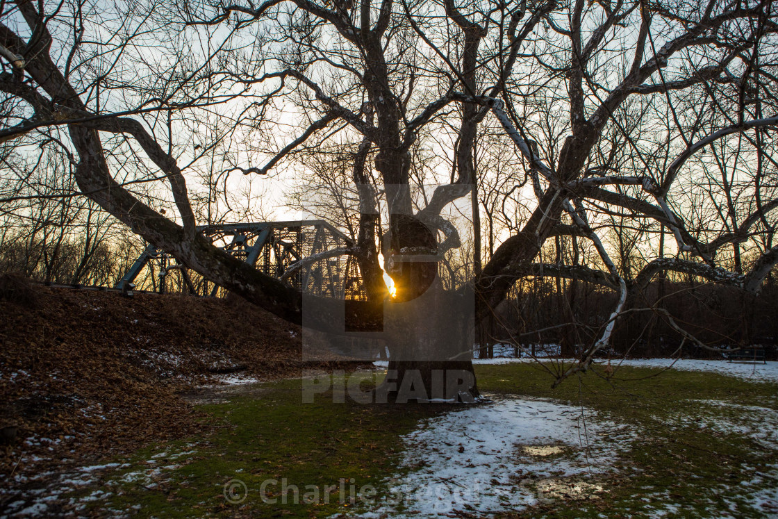 """Pinchot Sycamore, the largest tree in Connecticut"" stock image"