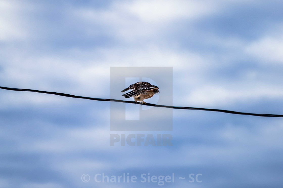 """Red shouldered hawk preparing to take flight"" stock image"