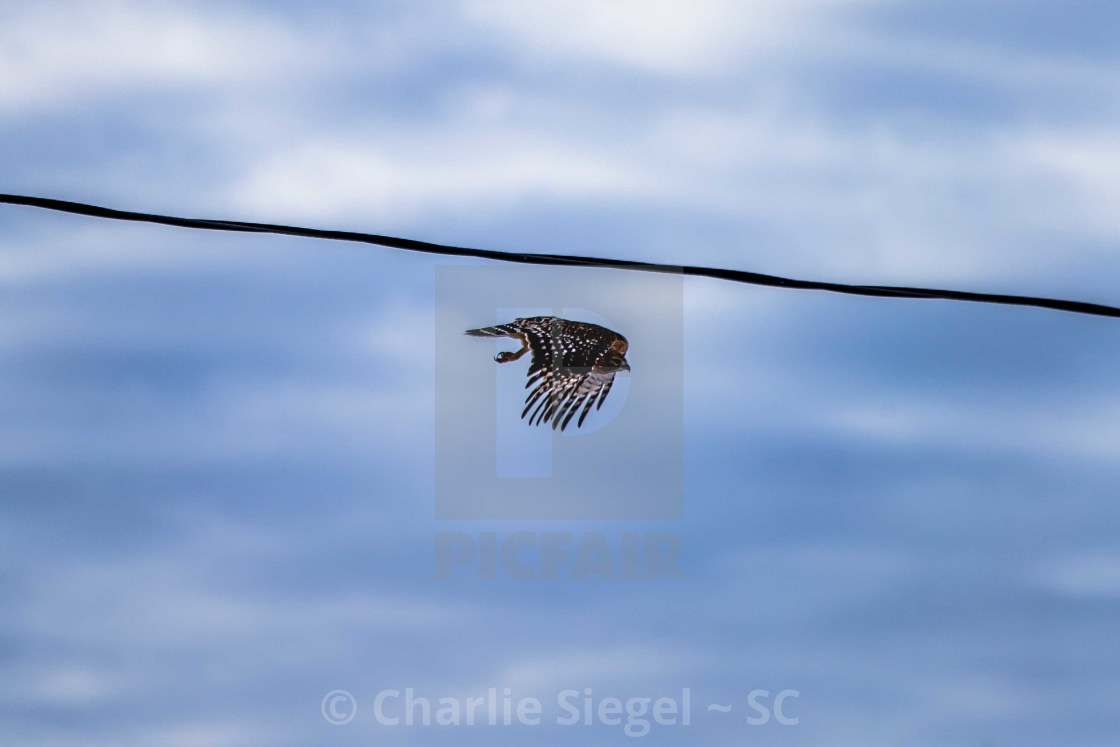 """Red shouldered hawk in the first moments of flight"" stock image"