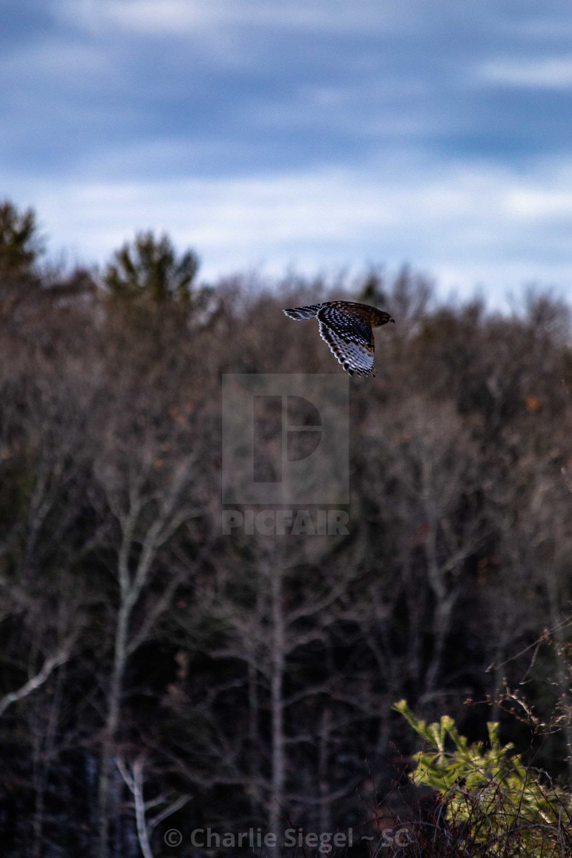 """Red shouldered hawk flying over a field"" stock image"