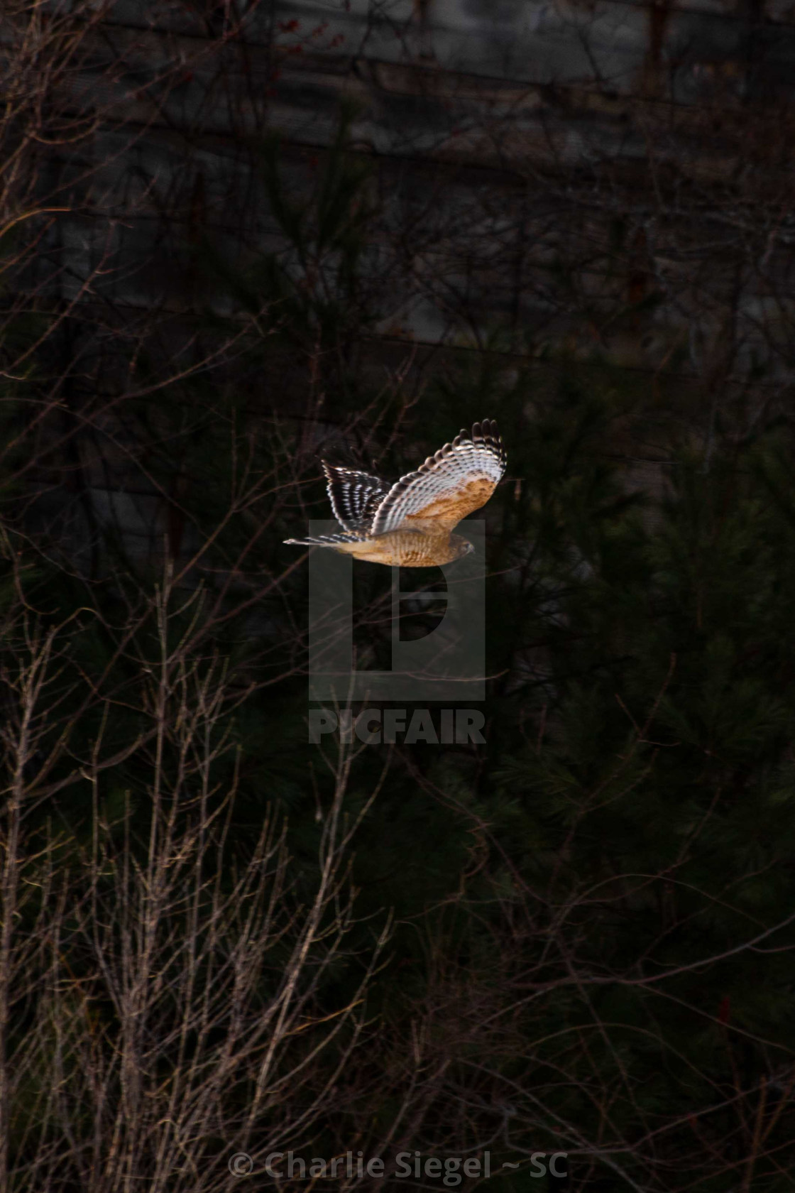 """Red shouldered hawk in flight in front of historic tobacco barn"" stock image"