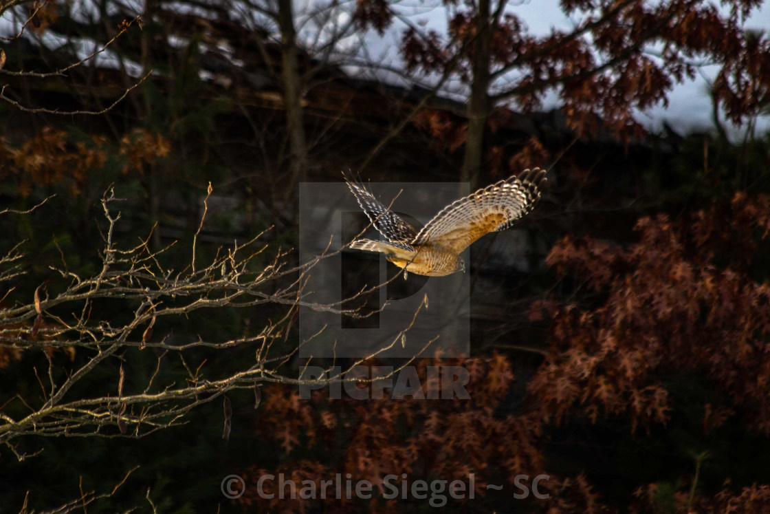 """Red shouldered hawk taking flight"" stock image"