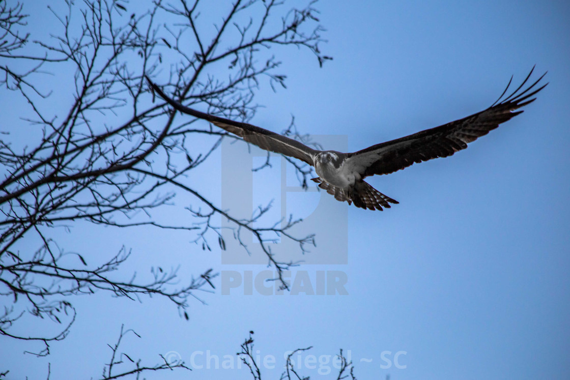 """Osprey in Flight in the Evening Light"" stock image"