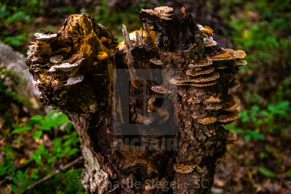 """Mushroom Covered Forest Stump close up"" stock image"
