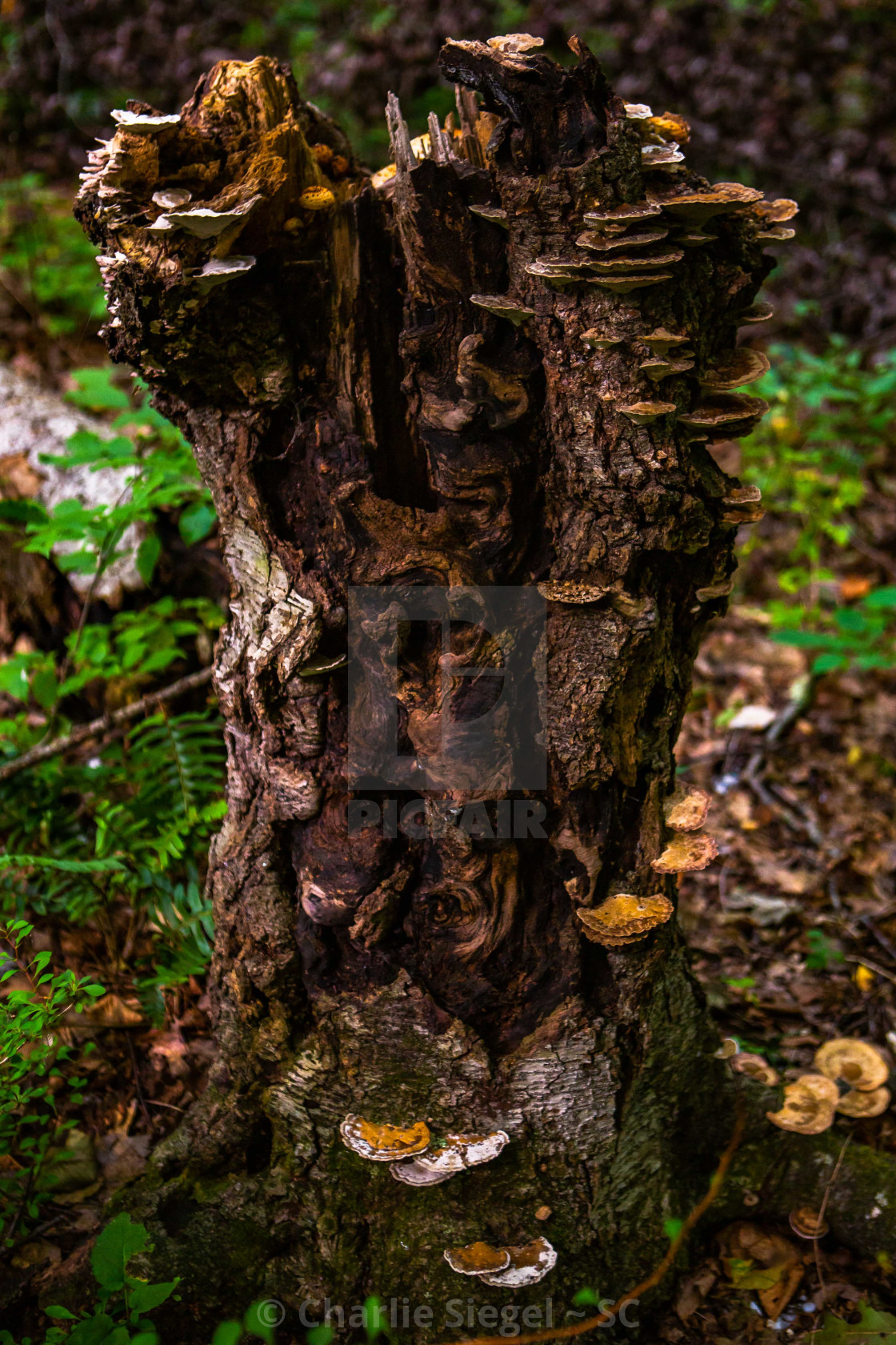 """Intriguing Tree Stump Supporting a Family of Fungi"" stock image"