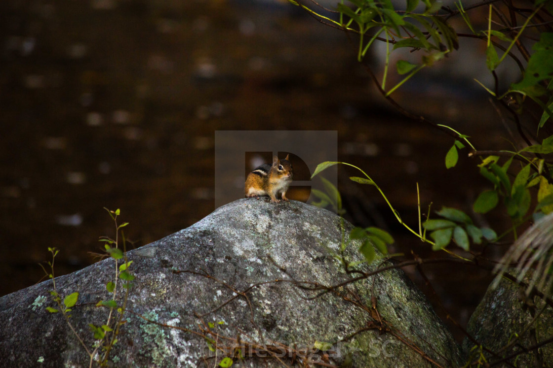 """""""Chipmunk Perched on a Stone near a Pond"""" stock image"""