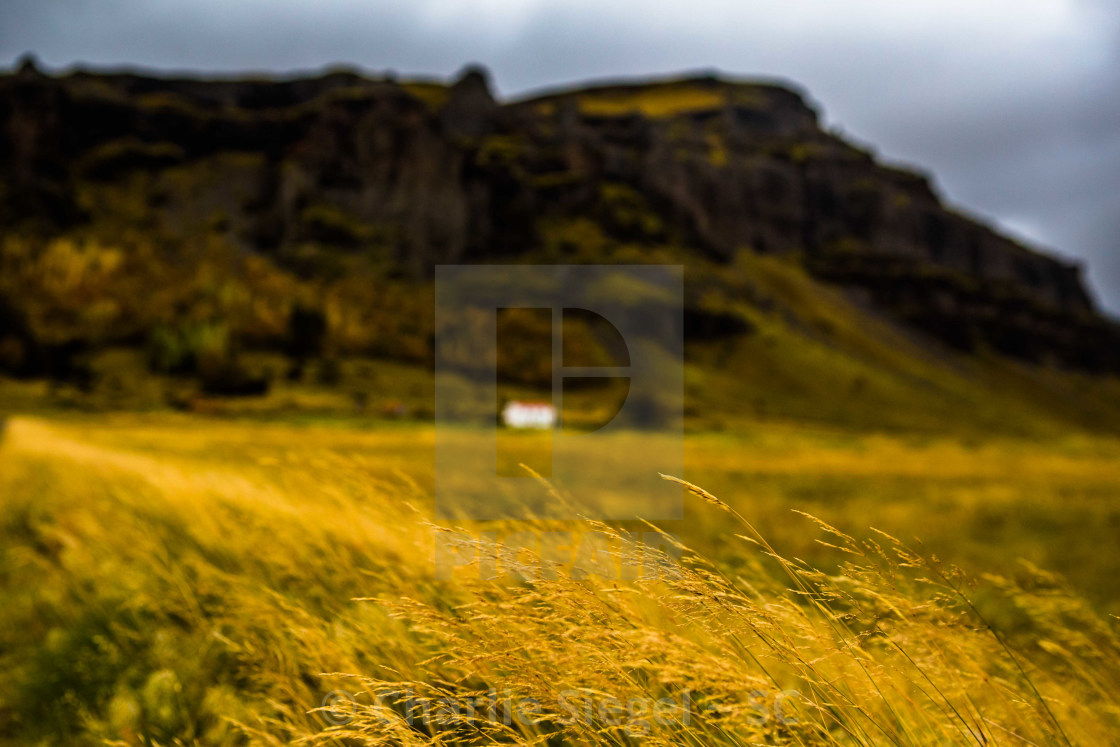 """""""Grains in a Meadow before Nupsstadur Historic Turf House Farm, Iceland"""" stock image"""