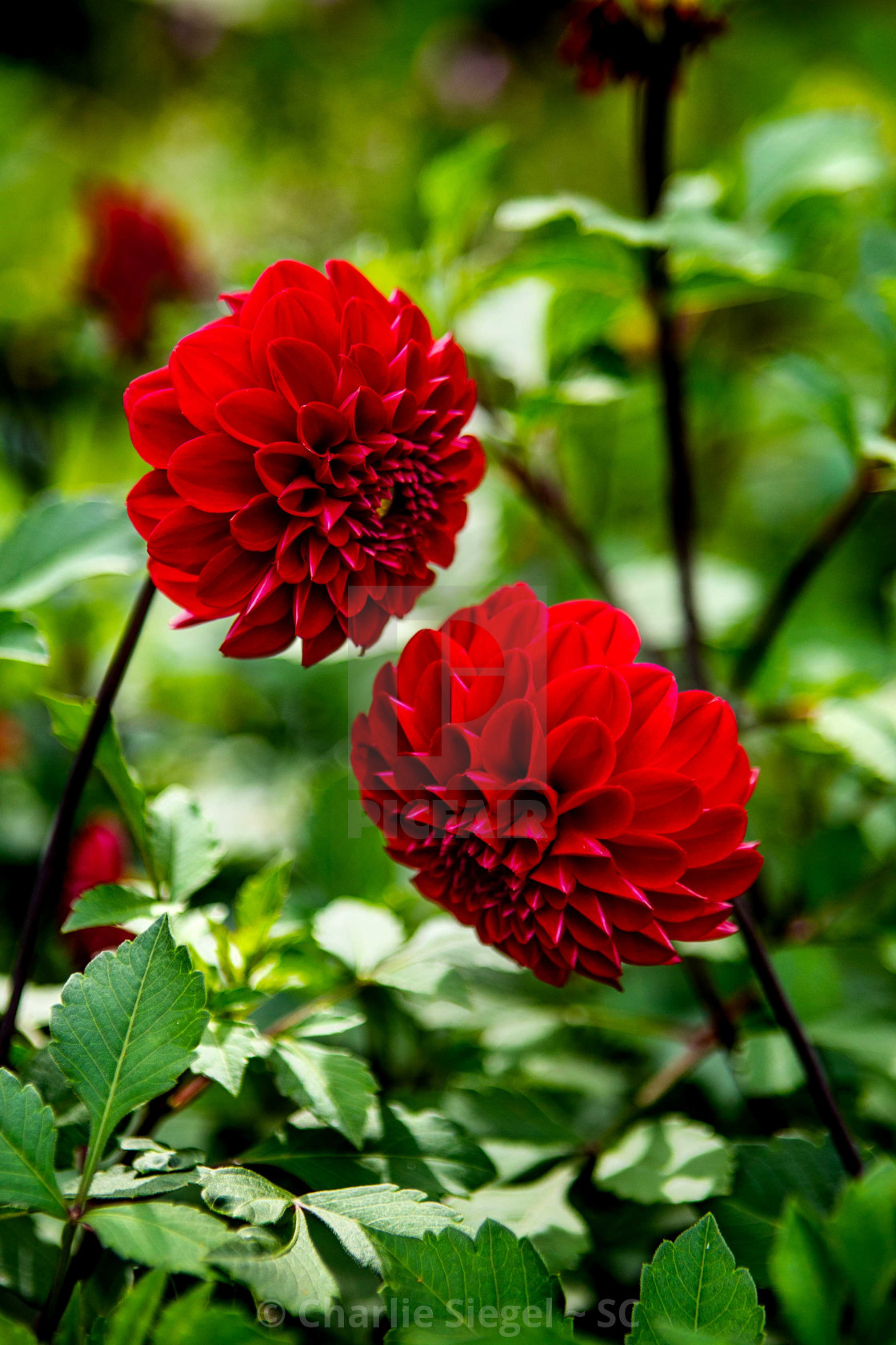 """""""Red Dahlia Flowers Having a Conversation vertical version"""" stock image"""