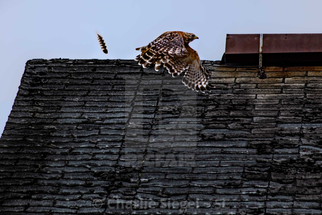 """""""Red Shouldered Hawk Releases a Loose Feather"""" stock image"""