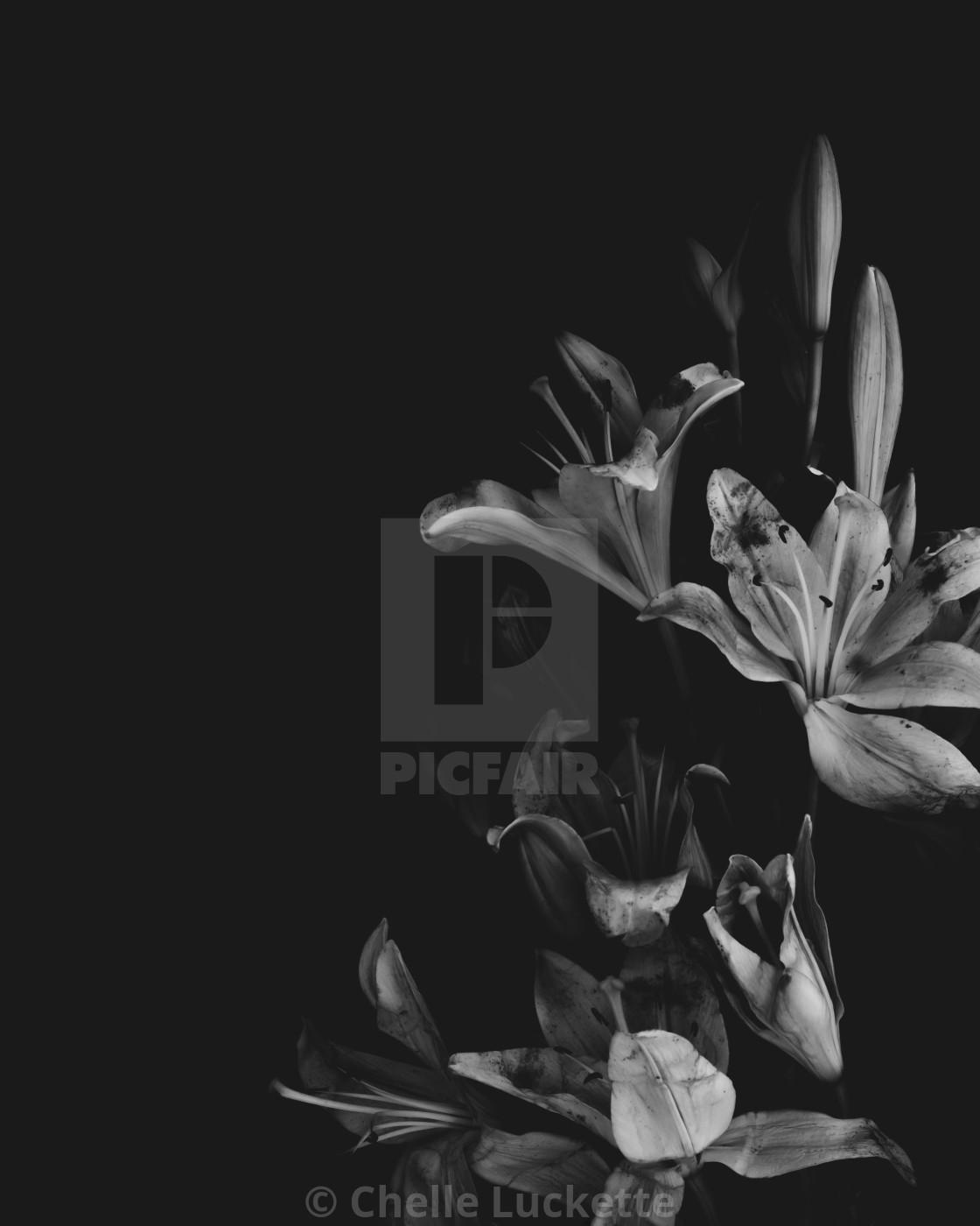 """Lily, Black And White, Minimalist"" stock image"