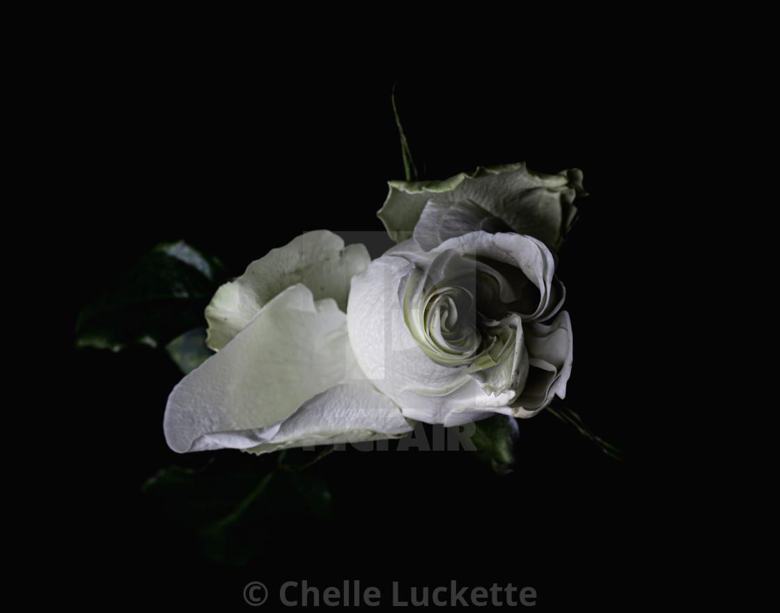 """White Rose, Photography, Prints, beautiful rose Image, color, nature, Boho, Minimalist, Wall Decor, Large Wall Art"" stock image"