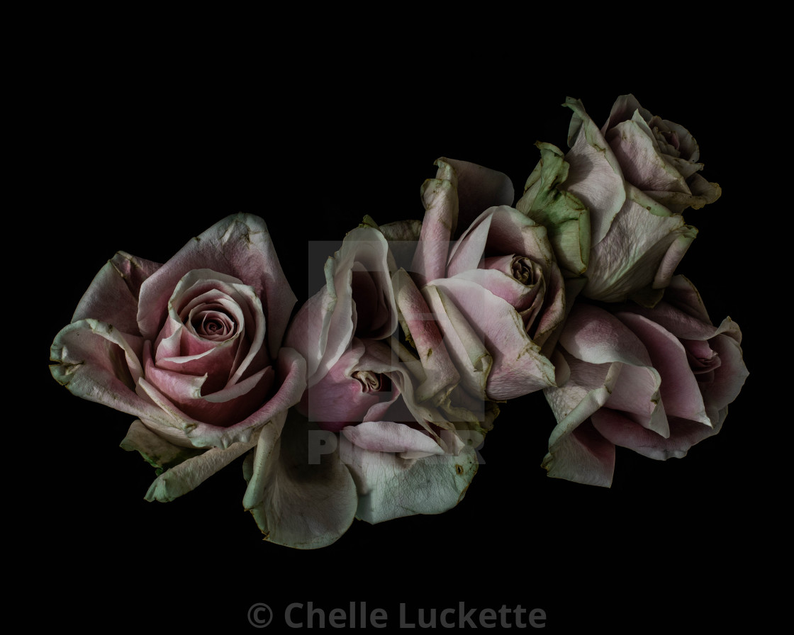 """""""floral Photography, pink roses Large Art Print, Modern Wall Art, Minimalist Fine Art Photography Floral"""" stock image"""