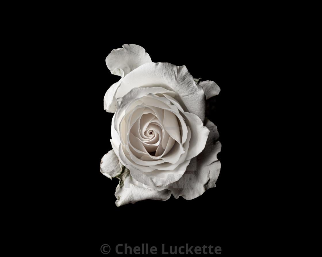 """""""White rose on Black Background"""" stock image"""