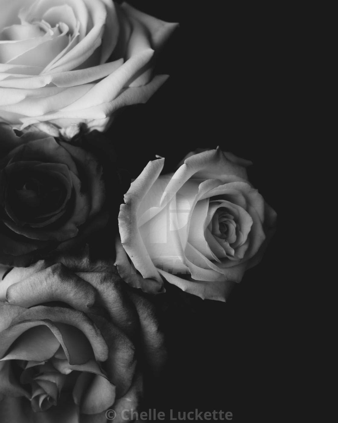 """Roses, black and white, dark background"" stock image"