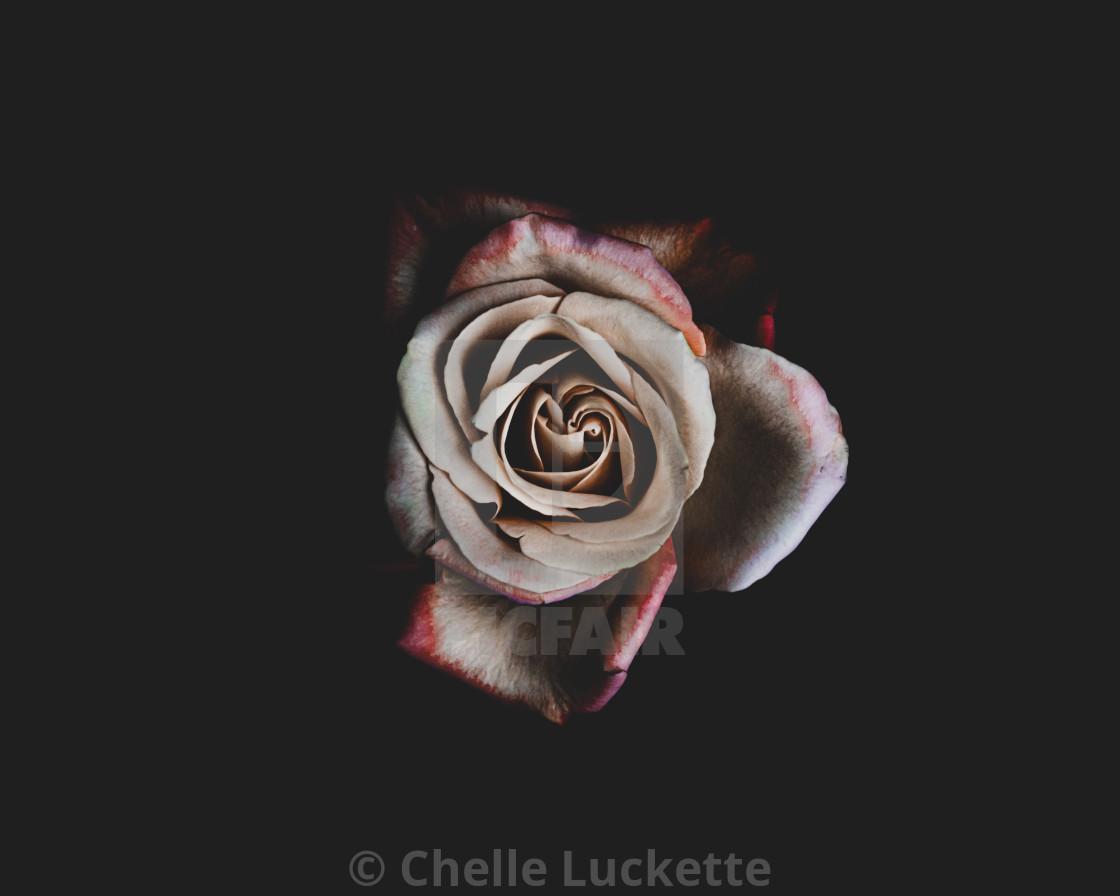 """Red rose, black background"" stock image"