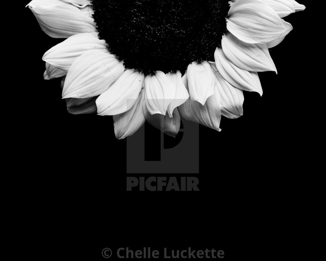 """Sunflower, black and white, minimalistic"" stock image"