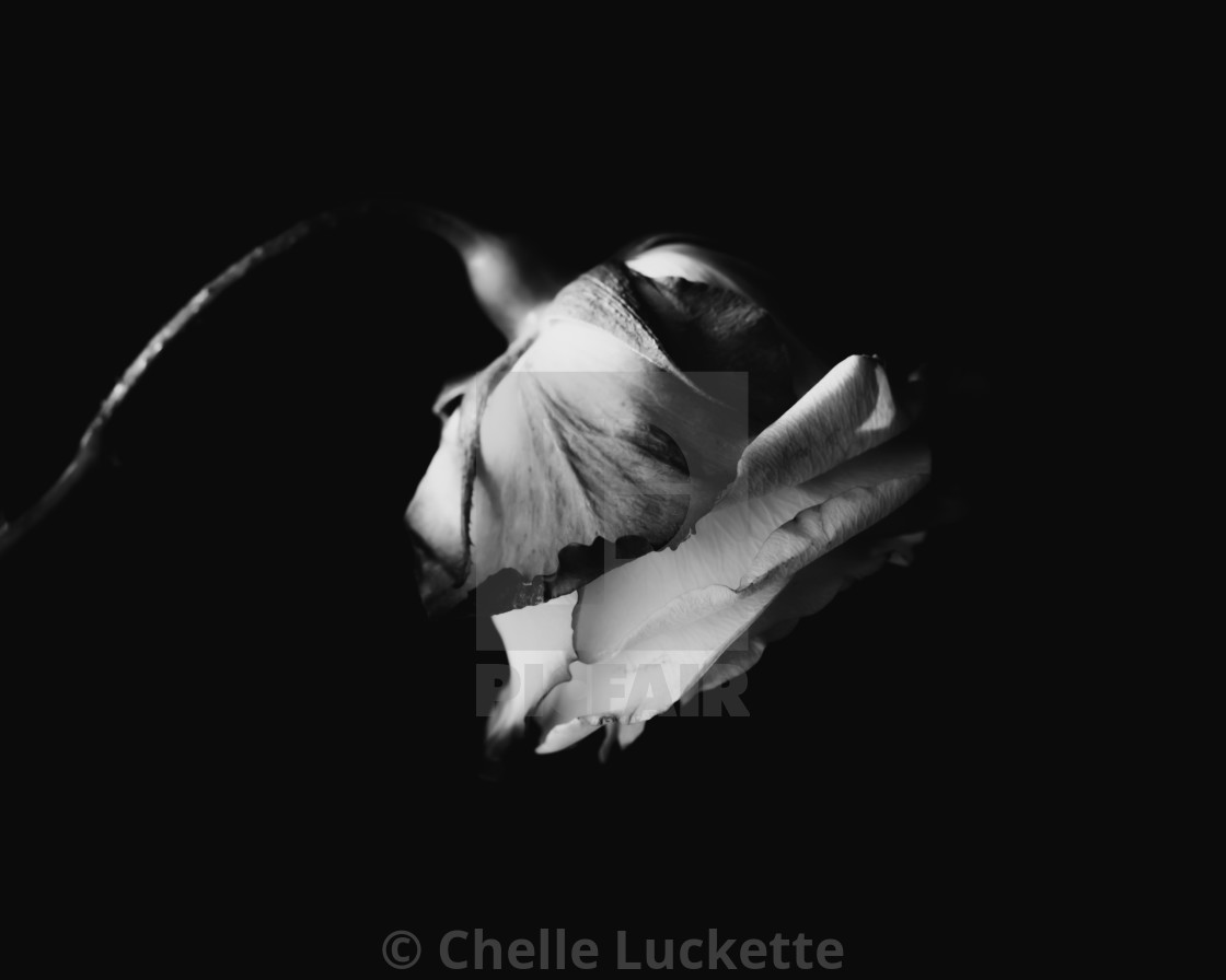 """""""Rose, black and white"""" stock image"""