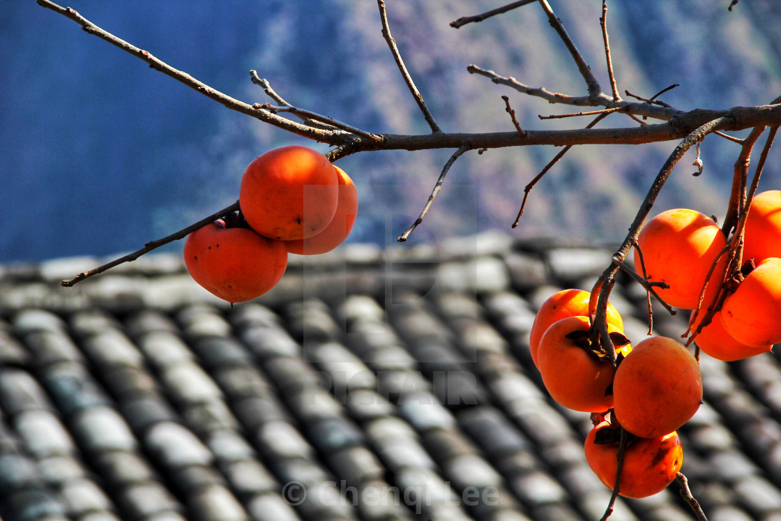 """Granddad's persimmon tree"" stock image"