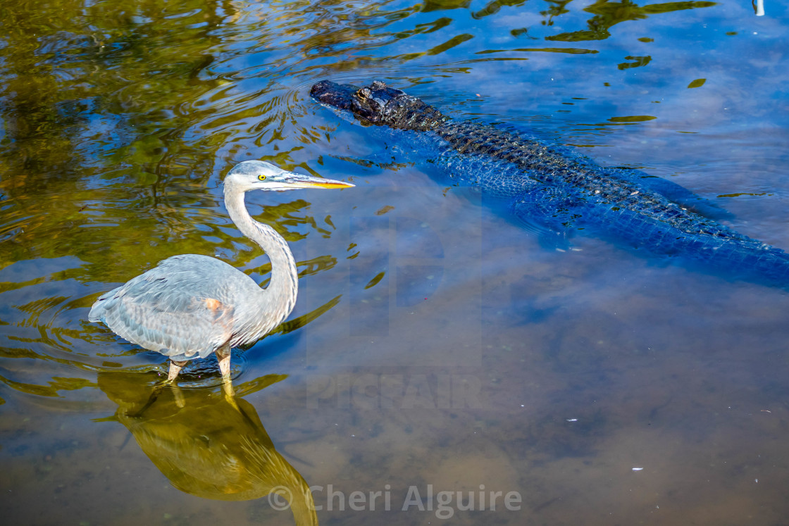 """A Great Blue Heron in Orlando, Florida"" stock image"