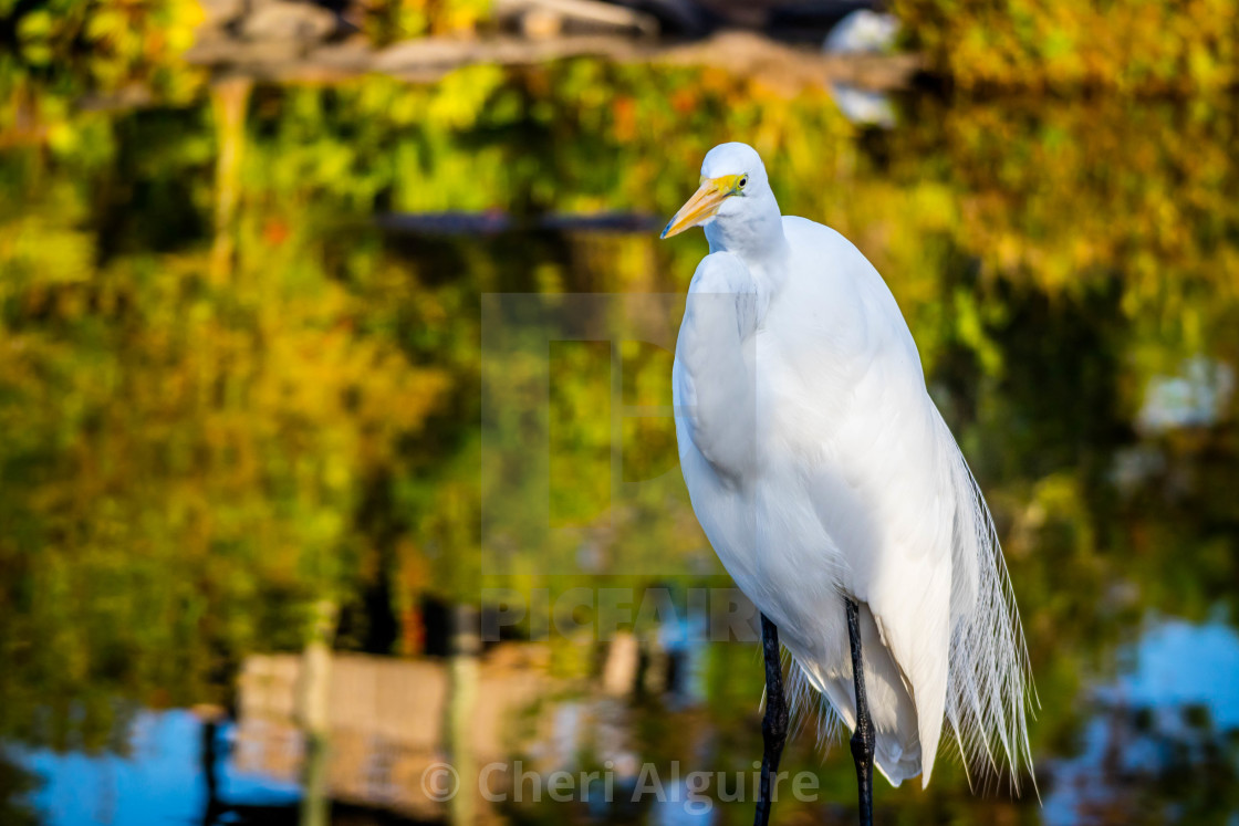"""A Great White Egret in Orlando, Florida"" stock image"