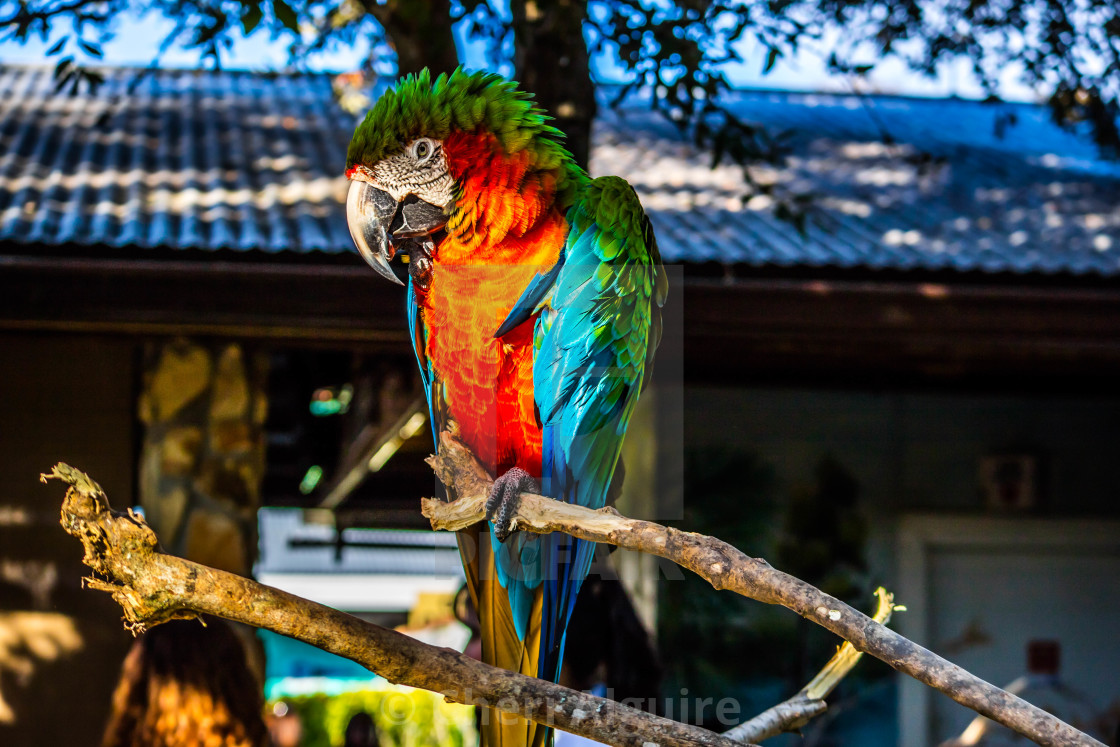 """A Green and Orange Macaw in Orlando, Florida"" stock image"