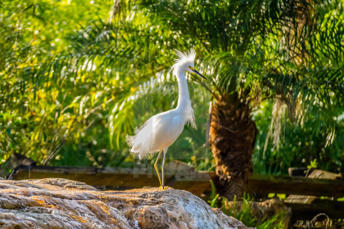 """A Snowy White Egret in Orlando, Florida"" stock image"