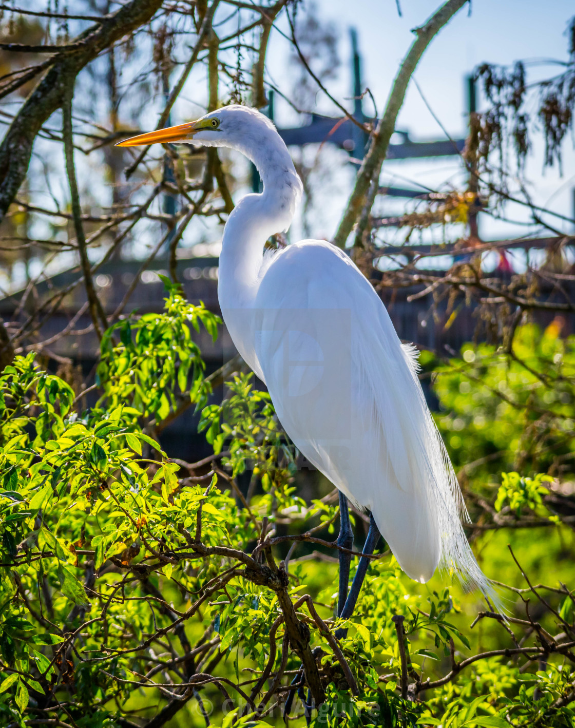"""A large White Heron in Orlando, Florida"" stock image"