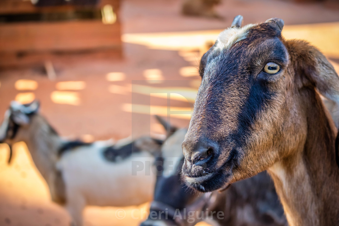"""A Spanish Goat inside the ranch of Orlando, Florida"" stock image"