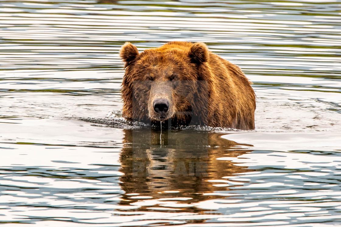 """""""Large Alaskan Brown Bear"""" stock image"""