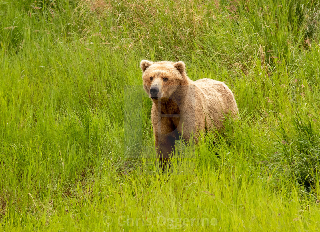 """""""Blond Bear in the Grass"""" stock image"""