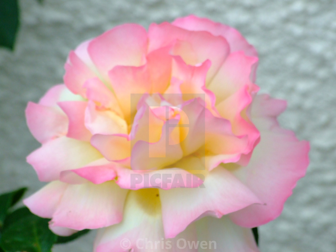 """Two Tone Wild Rose"" stock image"