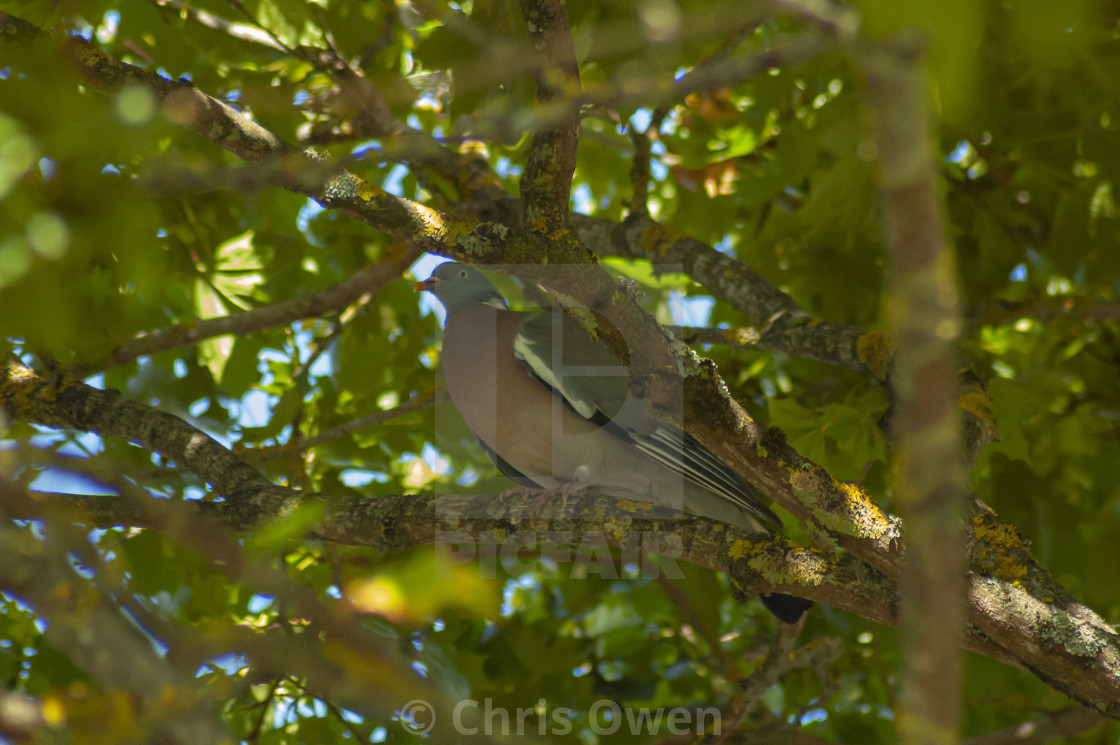 """Pidgeon in a tree"" stock image"