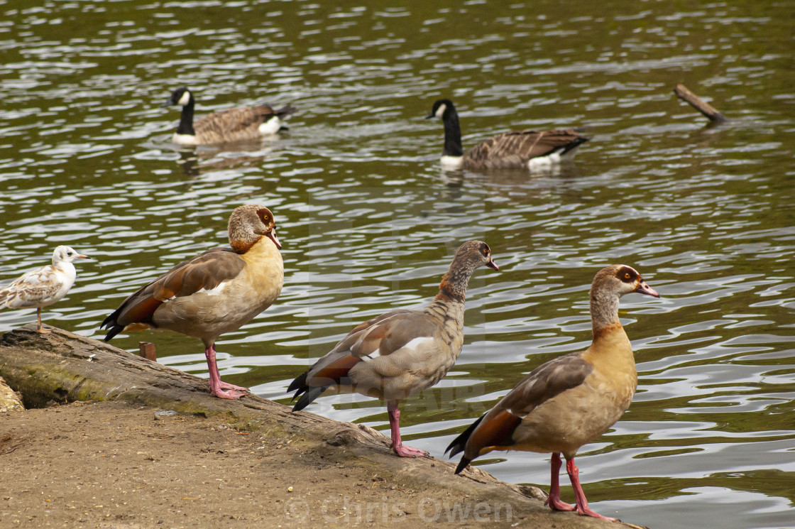 """Egyptian Geese"" stock image"