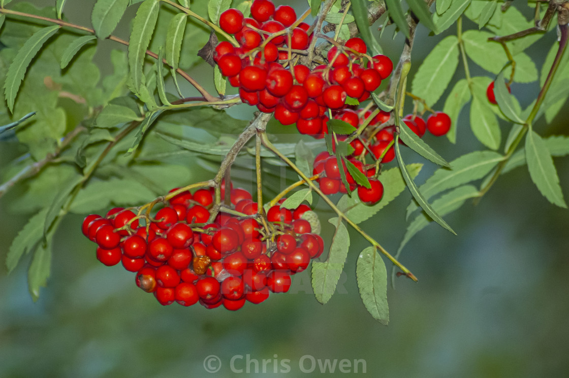 """""""Red Berries"""" stock image"""