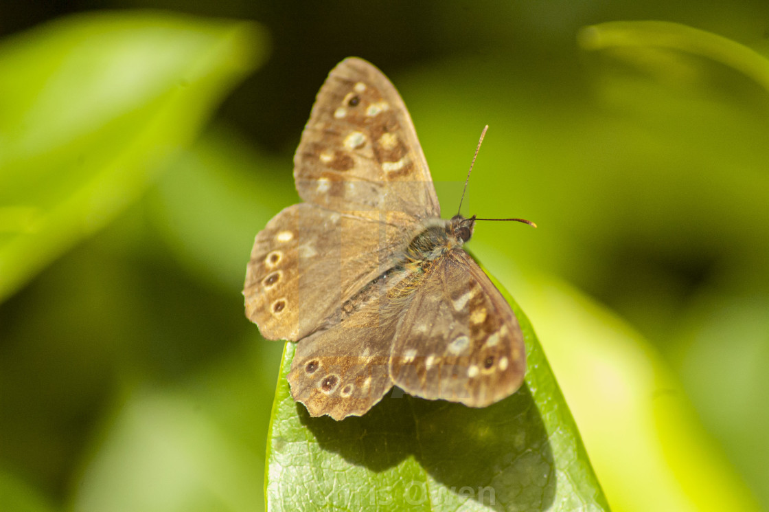 """Speckled Wood Butterfly"" stock image"