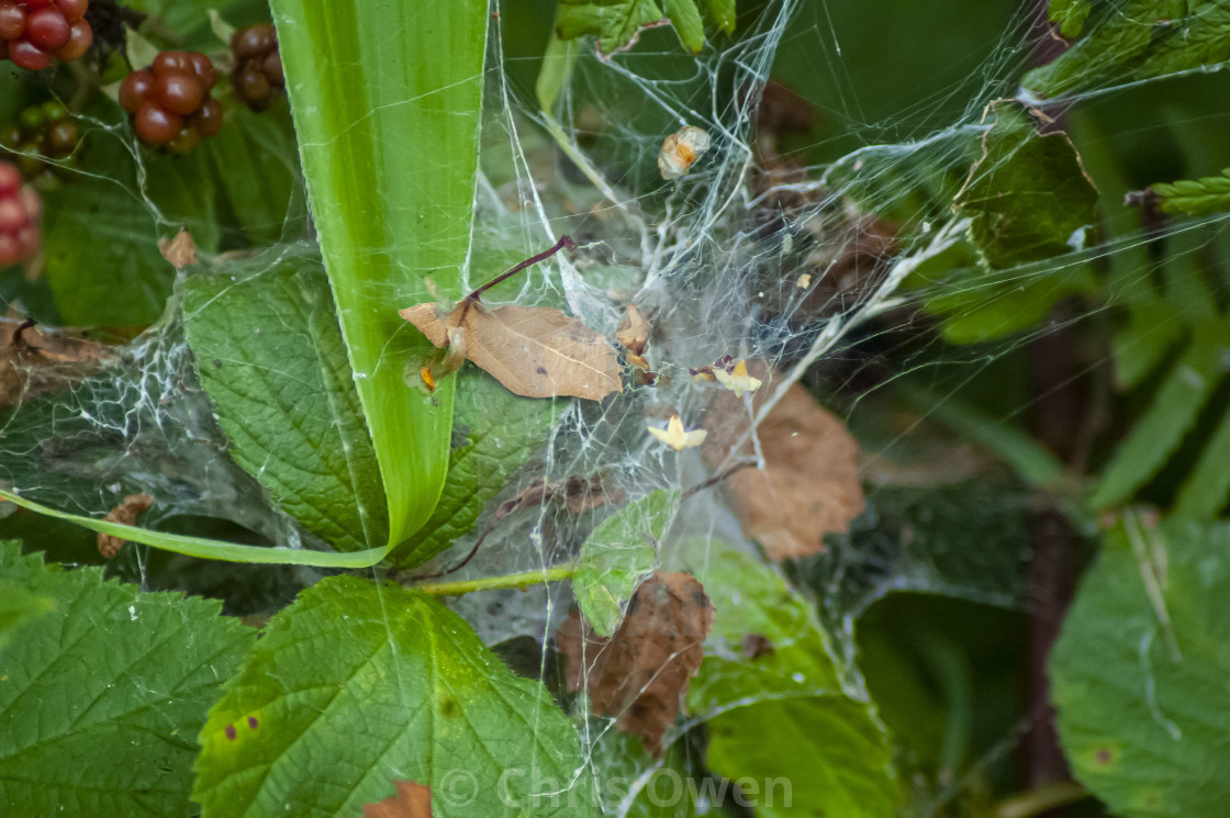 """Spiderweb in a bush"" stock image"