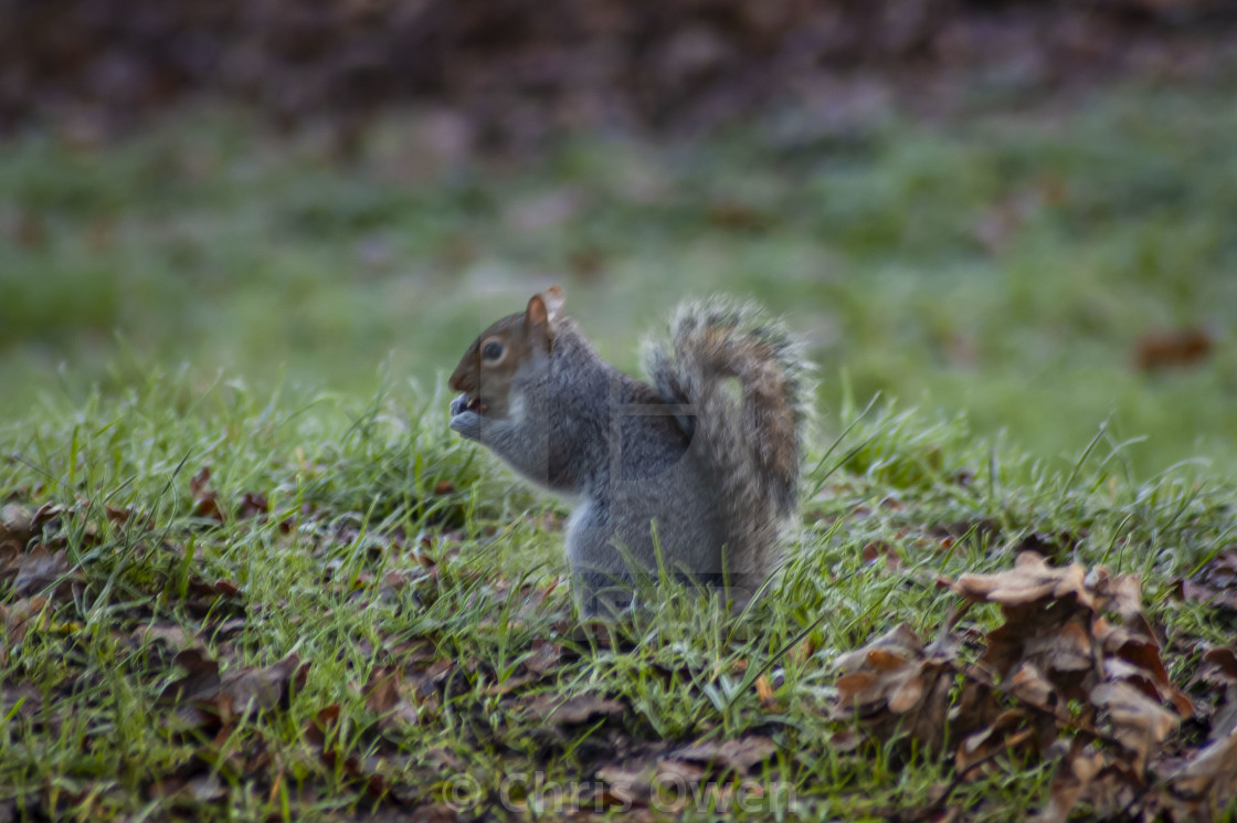 """Foraging Squirrel"" stock image"