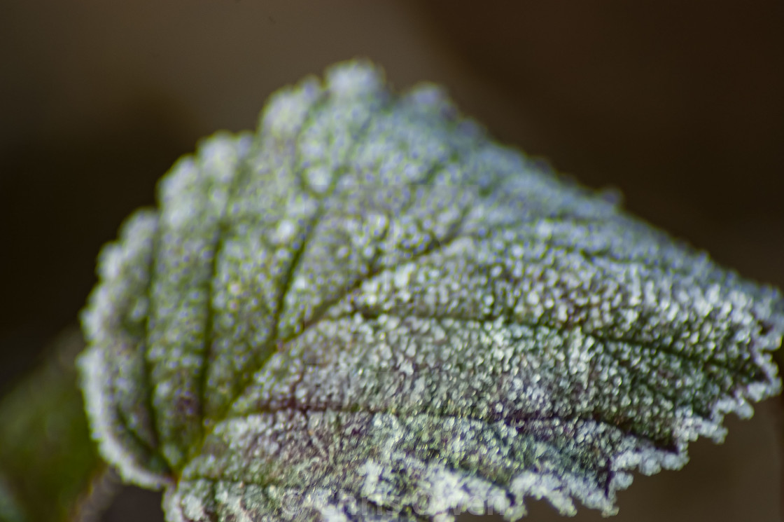 """Frosty Leaf"" stock image"