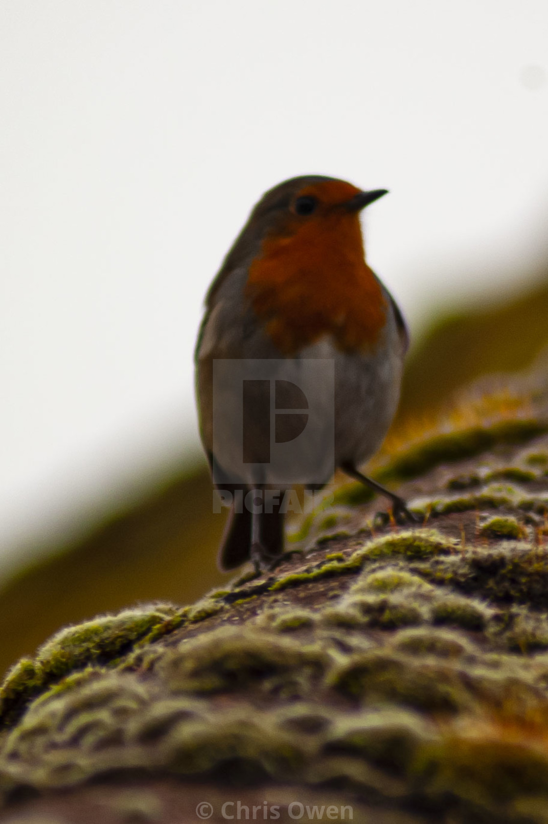 """""""Robin on a roof"""" stock image"""