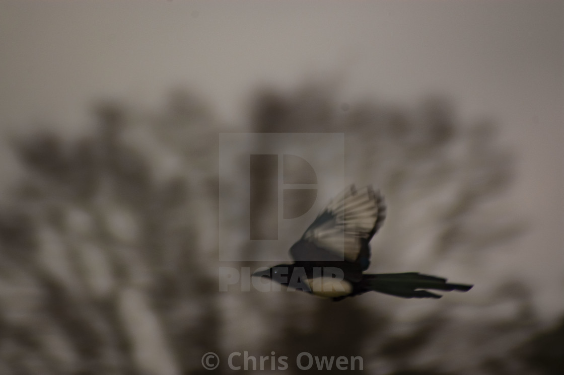 """""""Flying Magpie"""" stock image"""