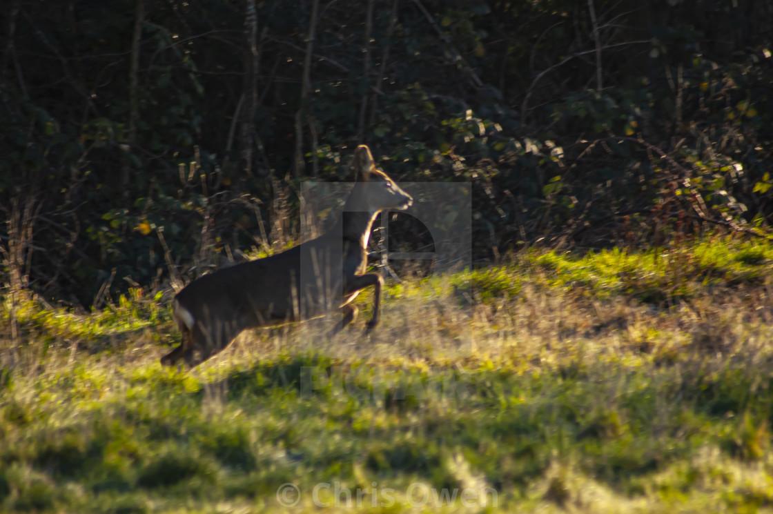 """""""Prancing Buck"""" stock image"""