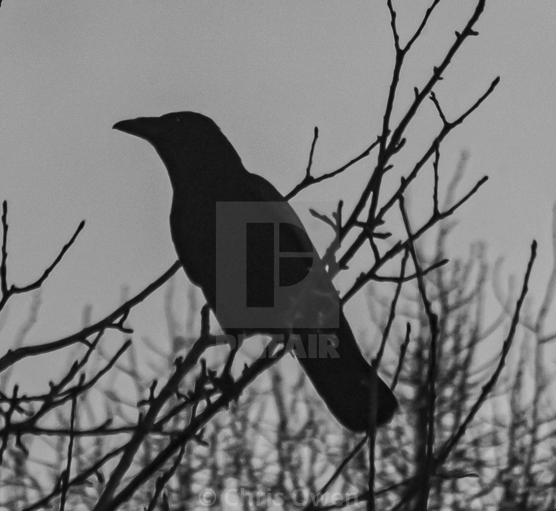 """Crow (1 of 3)"" stock image"