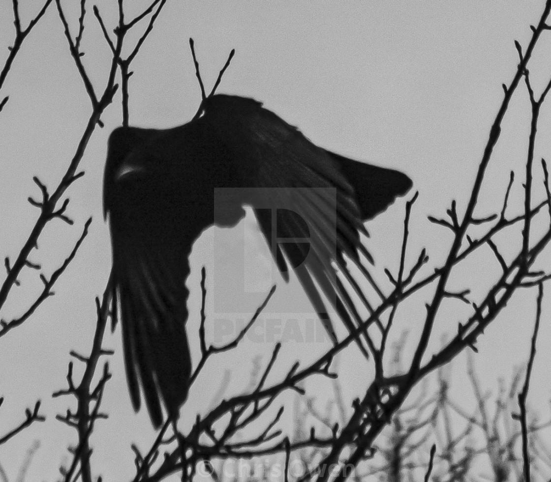 """Crow (3 of 3)"" stock image"