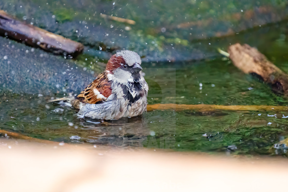 """House sparrow (Passer domesticus) male having a bath in small pond, taken in..."" stock image"