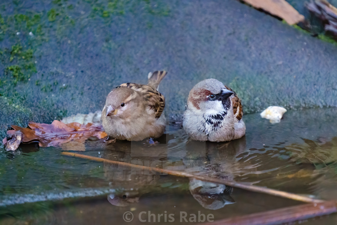 """House sparrow (Passer domesticus) male and female having a bath in small..."" stock image"