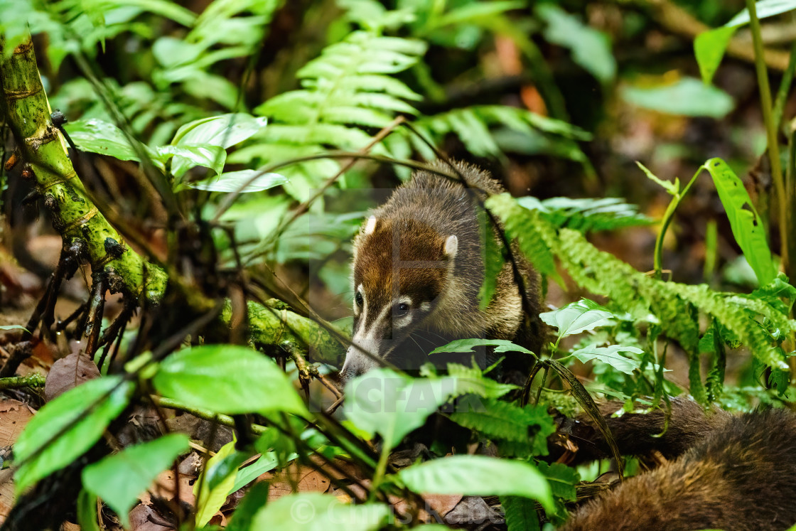 """Ring-Tailed Coati (Nasua nasua rufa) searching forest floor for food, taken..."" stock image"