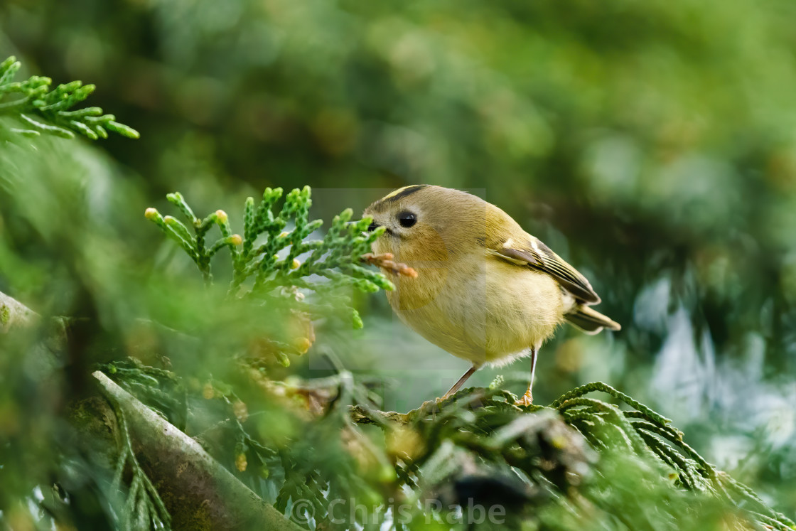 """Goldcrest (Regulus regulus) on a fir tree, taken in the UK"" stock image"
