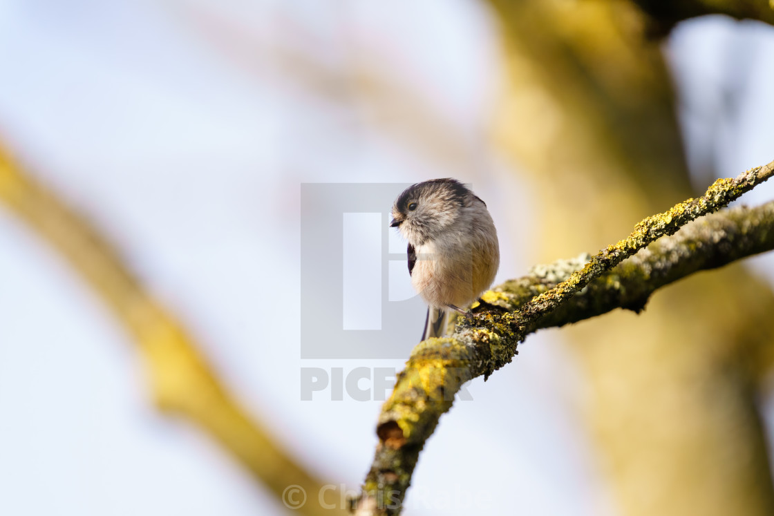 """Long-tailed tit (Aegithalos caudatus) in the UK"" stock image"