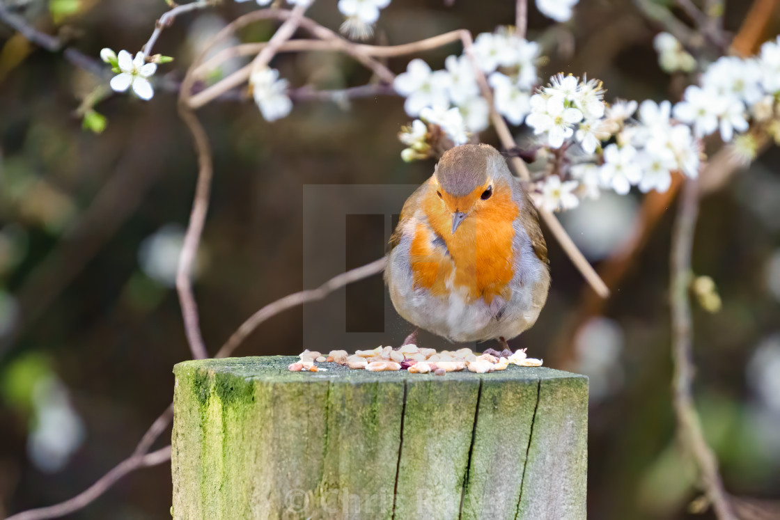"""European Robin (Erithacus rubecula) perched on a fence pole looking at seeds..."" stock image"